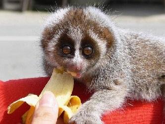 lemur_lori