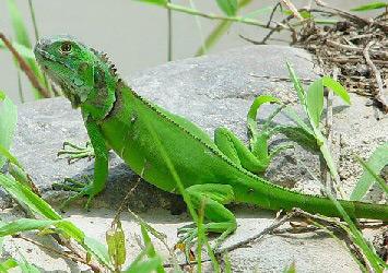 iguana-v-domashnix-usloviyax