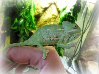 xameleon_doma_foto
