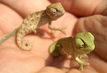 xameleon_reptiliya