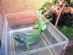 Игуана в домашних условиях