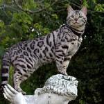 Бенгальская порода кошек: история, особенности содержания