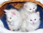 Порода кошек турецкая ангора: особенности характера, здоровье, уход