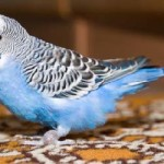 Как научить попугая говорить?
