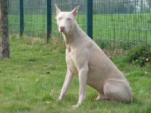doberman-albinos-foto