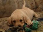 Воспитание щенка от 1 месяца до года