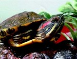 Уход за красноухой черепахой