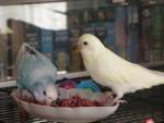 Чем и как кормить попугая?