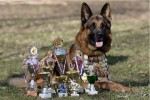 7 самых обучаемых пород собак