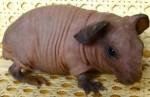 Лысые морские свинки скинни