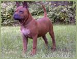 Китайская порода собак чунцин: происхождение и особенности породы