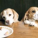 Как отучить собаку выпрашивать еду?