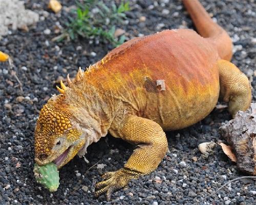 iguana-foto