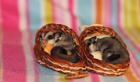 possum-foto