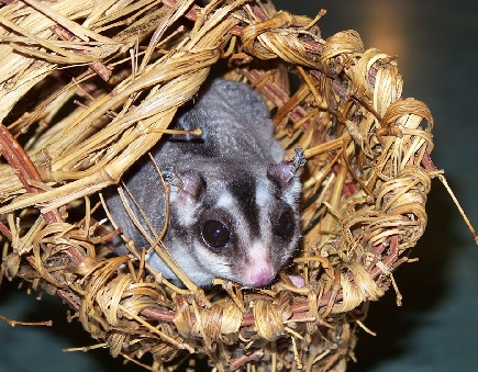 saharnyi-possum-foto-2