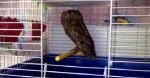 Домашняя сова в квартире