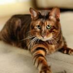 Домашний тигр — порода кошек тойгер