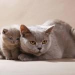 Породы кошек для спокойных людей
