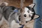 Как правильно воспитывать собаку — сибирскую хаски?