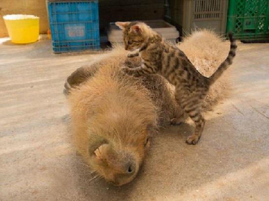 kapibara-foto