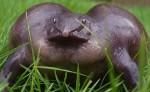Фото пурпурных лягушек