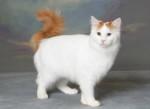 Порода кошек Турецкий Ван: происхождение породы, условия содержания