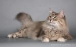Норвежская лесная кошка: описание породы и характера, красивые фото