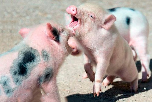 gettingskiy-mini-pig